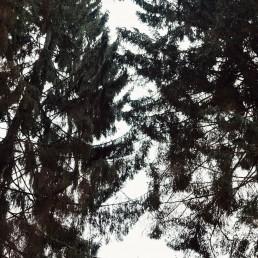 Baumkronen der Nadelbäume